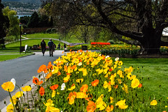 20160928-DSC_8825 (rosemaree905) Tags: hobart flower yellow red white duck garden spring nikon nikond7100