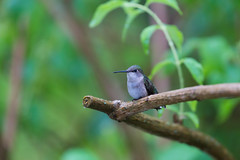 Little bird (g_kutidze) Tags: cute bird treebranch green bokeh summer tree hummingbird