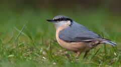 What's that sound I hear?... (Glenn van Windt) Tags: sittaeuropaea aves bird vogel songbird nuthatch boomklever nature natuur canonef400mmf56lusm
