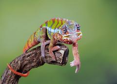 How rude! (susie2778) Tags: captivelight bournemouth studio olympus flash omdem1 pantherchameleon chameleon tongue pointing 40150mmf28pro furciferpardalis