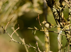 Yellow Browed Warbler (Severnrover) Tags: yellow browed warbler migration migrating bird