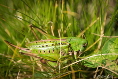 Grasshopper (pego28) Tags: sdtirol italien italy southtyrol natur nature holiday vacation urlaub 2016 nikon nikkor d800 ratschings berge alpen hill mountain alps wandern hike tramp sterzing mountainracines grn green klammalm grasshopper grashfer heuschrecke insekt insect