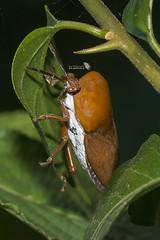 _DSC3081_LOGO (Ray 'Wolverine' Li) Tags: stinkbug stinkbugs bug bugs asia nature hongkong insect macro insects wildlife outdoor nikon iamnikon hemiptera litchstinkbug tessaratomapapillosa tessaratomidae