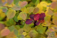 Autumn leaves (Geinis) Tags: autumn leaf leaves nature canon canon70d lensbaby sweet optic 35mm iceland