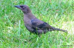 DSC_0122 (rachidH) Tags: birds oiseaux grackle quiscale commongrackle quiscalusquiscula quiscalebronz sparta franklin nj rachidh nature