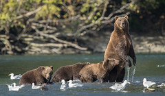 Mom on Alert (Rick Derevan) Tags: alaska kodiak kodiak2016 kodiaktrip2016 places unitedstates bear brownbear kodiakbrownbear us