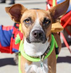 rogo-5728 (angelsrescue) Tags: aau pets angels among us pet rescue alpharetta ga dog love