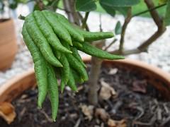 La main de Bouddha (Iris.photo@) Tags: medica sarcodactylis maindebouddha citrus cdrat agrume jardinsdumusum toulouse