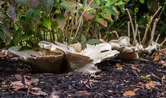 Giant Funnel (Leucopaxillus giganteus) (markhortonphotography) Tags: leucopaxillusgiganteus autumn toadstool markhortonphotography fungi lowpov kew surrey giantfunnelcap macro gardens giantfunnel mulch fungus hydrangea royalbotanicgardens thatmacroguy mushroom barkchippings kewgardens white