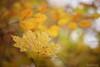 (Sabrina Kemkes) Tags: herbst gelb herbstfärbung wald texture blätter laub herbstlaub bokeh ast äste