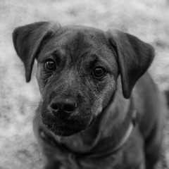Pickle22Oct1600014-Edit.jpg (fredstrobel) Tags: dogs pawsatanta phototype atlanta blackandwhite usa animals ga pets places pawsdogs decatur georgia unitedstates us