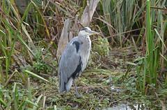 Heron (piinklady) Tags: heron bushypark wildlife birds wildbirds nikond7000 nikonafnikkor70300mm1456gvr piinklady