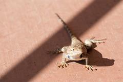 Banded Collared Lizard (Robert Styppa) Tags: lizard eidechse usa utah arizona monumentvalley