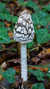 Magpie Inkcap (Coprinopsis picacea) (BiteYourBum.Com Photography) Tags: dawnandjim dawnjim biteyourbum biteyourbumcom copyright©2016biteyourbumcom copyright©biteyourbumcom allrightsreserved uk unitedkingdom gb greatbritain england westsussex canoneos7d canonefs60mmf28macrousm sigma50500mmf4563dgoshsm canonef1740mmf4lusm apple imac5k lightroom5 ipadair appleipadair camranger lrenfuse focusstacking polaroidautofocusdgmacroextensiontubes manfrotto055cxpro3tripod manfrotto804rc2pantilthead loweproprorunner350aw wephamwood wepham angmering magpie inkcap coprinopsis picacea magpieinkcap coprinopsispicacea fungi fungus mushroom mushrooms southdownsnationalpark southdowns