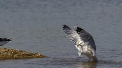 Off I Go (Dr. Farhan) Tags: off i go bird wings white water lake pond wetlands london wildlife gul seagul