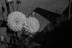 Pompon chrysanthemum () Tags: sony dscrx100 cybershot rx100 carl zeiss variosonnar t 104371mm f1849