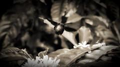 Beetle (Aadilos) Tags: beetle macro monday macromondays beatles beatle indonesi indonesia nikon d5200 flying