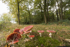 Fly Agaric - Vliegenzwam (wietsej) Tags: bulskampveld fly agaric vliegenzwam beernum belgie autumn herfst sony a7rm2 a7rii zeiss sal1635z 1635 landscape nature