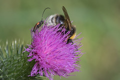 insects on a flower (Bea Antoni) Tags: thistle distel tamron canon nahaufnahme closeup makro macro blumen blume flowers flower insekten insekt insects insect
