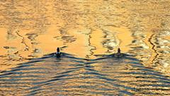 Golden wedding (Croix-roussien) Tags: ducks canards oiseaux nature reflet reflection lyon saône france gold or duo deux riviere fleuve river abstract perspective wedding noce graphisme ngc couleur color mariage noces cof074holl cof074dmnq cof074chri cof074chon