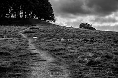 Deer Crossing (D1g1tal Eye) Tags: park trees path deer grass monochrome bw blackandwhite nikon d7000 tamron1750mmf28
