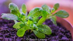 Rainy day (Daniele Carmona) Tags: daniele carmona theworldthroughmyeyes danielecarmona rainy day water drop goccia pioggia plant pianta green transparent