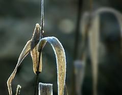 Frozen 08 (cees van gastel) Tags: ceesvangastel canoneos550d frozen bevroren druppels drops plants vegetation vegetatie planten winter nature natuur waterdonkernbreda breda tamron70300mm