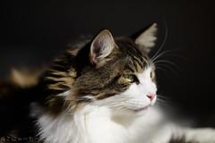 What has a tail like a cat, paws like a cat, ears like a cat, and eyes like a cat, but isn't a cat? (miyukiz4 su ood) Tags: cats cat kitten  gttino chaton gatito ktzchen gatinho coth5