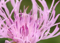 IMG_1673 (Sally Knox Sakshaug) Tags: nynov2016 fall autumn outside outdoors conesus area nature closeup close up perspective angle interesting different vary varied variety unique unusual line lines flower floral purple pink lavender white spindly center with petals daisylike weed field green
