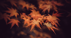 Autumns Beauty (spiderstreaky) Tags: fresh cotswolds delightful exposure beauty colour dxo abstract close leaf fragile nature golden closeup red delicate autumnal garden colourful wood english tree beautiful leaves focus d7100 countryside bright trees woodland wildlife autumn light
