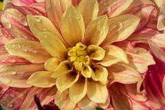 Droplets on a Dhalia - Regenropfen auf einer Dahlie (ralfkai41) Tags: pflanze nature blte blume outdoor natur garden plant droplets flower regentropfen dahlia tropfen raindrops blossom garten dahlie