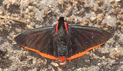 Pyrrhopyge sp. (Birdernaturalist) Tags: bombuscaro butterfly ecuador hesperiidae podocarpusnationalpark pyrginae pyrrhopygini richhoyer zamorachinchipe