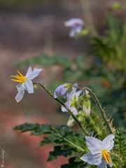 Solanum sisymbriifolium (Makromaus_Ahrweiler) Tags: solanumsisymbriifolium raukenblttrigernachtschatten stickynightshade solanaceae nachtschattengewchse solanales nachtschattenartige naturaufnahme nature chaam phetchaburi thailand
