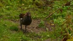 Moorhen II (J @BRX) Tags: moorhen adeldam goldenacrepark bramhope leeds yorkshire england uk september2016 autumn bird waterbirds yorkshirewildlifetrust