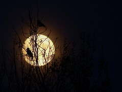 Crows at Moonrise (ukstormchaser (A.k.a The Bug Whisperer)) Tags: crow crows carrion uk bird birds animal animals wildlife milton keynes perched tree trees branch branches evening november autumn