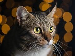 Leila, my cat (Attilio Piselli) Tags: bokeh portrait leila ritratto cat sfocato gatto feliscatus dof