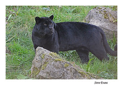 jaguar (coulportste) Tags: jag cat zoo chester black animal