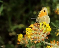 Procris - (Coenonympha pamphilus L) sur Anthyllide vulnéraire (Anthyllis vulneraria) (nicéphor) Tags: papillon rhopalocères flore fleurs flower faune nature insecte canon eos50dmacro proxiphotographie