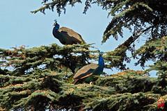 Les paons grimpent dans le cdre bleu (mamnic47 - Over 6 millions views.Thks!) Tags: bagatelle parcdebagatelle jardinsdebagatelle paris16me boisdeboulogne automne img4398 paons cdre paonsperchs