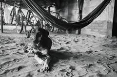 Chill time (G.omez) Tags: dogs animals blackandwhite monochrome mono canon5d nicaragua jiquilillo rancho chilling