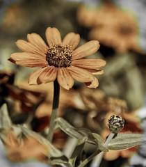 Last zinias of the year (billd_48) Tags: ohio fall nature flowers zinnia