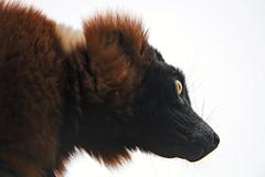 Lemur on white background (Tambako the Jaguar) Tags: red ruffed portrait face profile backlight whitebackground lemur primate parcanimalier saintecroix park parc rhodes zoo france nikon d5
