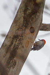Red-bellied Woodpecker (A Great Capture) Tags: red pale blackandwhite stripes agreatcapture agc wwwagreatcapturecom adjm ash2276 ashleylduffus ald mobilejay jamesmitchell toronto on ontario canada canadian photographer northamerica fall autumn automne herbst 2016 eos digital dslr natur nature naturaleza natura bird vogel oiseau πουλί madár uccello ptak pássaro птица vták fågel 새 鸟