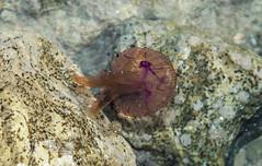 Medusa (alankarakus) Tags: medusa mar naturaleza
