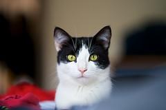 Attila (silvia_mozzon) Tags: gatto cat black white green eyes bianco nero occhi verdi felino feline micio kitty attila miao mao