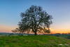 Majority Leader - Sacramento County, California (Tactile Photo | Greg Mitchell Photography) Tags: hike calm ranchomurieta rollinghills moon oaka star clouds clear happyplace peace tree cow cattleranch sacramento sunset greengrass oaktree private walk