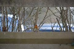 (julespics) Tags: rouge gorge oiseau hiver