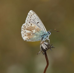 Chalkhill Blue (M) (Mark S Searle) Tags: butterflies