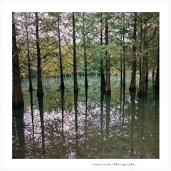 Feather Pine Forest (jasoncremephotography) Tags: hasselblad hasselblad500cm kodak ektar distagon 50mm mediumformat 120film 120 6x6 analog istillshootfilm zeiss taiwan hualien