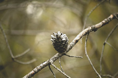 One (Evangelina M) Tags: pinecone nature december branch